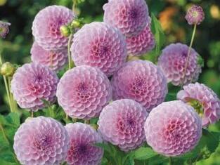 Jiřina 'Pompon Rose' - Dahlia 'Pompon Rose'