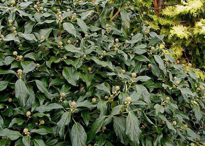 Břečťan kavkazský 'Arborescens' - Hedera colchica 'Arborescens'
