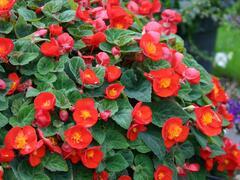 Begónie hlíznatá 'Flamboyant' - Begonia tuberhybrida 'Flamboyant'