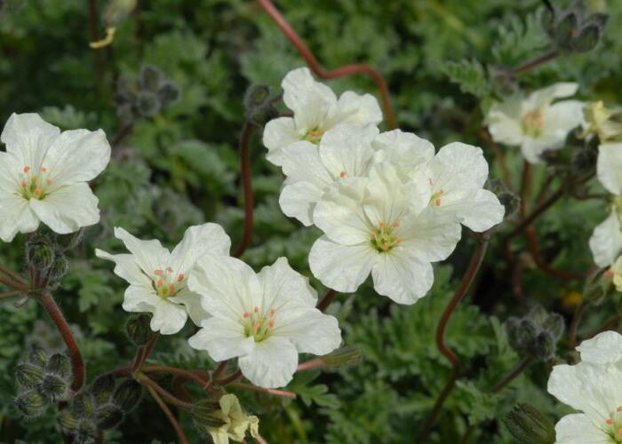 Pumpava zlatá - Erodium chrysanthum