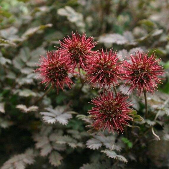 Plazilka - Acaena caesiiglauca