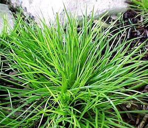 Puškvorec trávolistý - Acorus gramineus