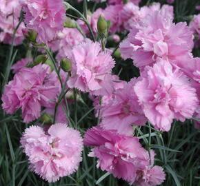 Hvozdík péřitý 'Roseus Plenus' - Dianthus plumarius 'Roseus Plenus'