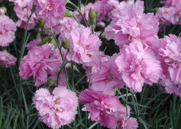 Hvozdík péřitý 'Roseus' - Dianthus plumarius 'Roseus'
