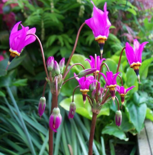 Boží květ zahradní 'Red Wing' - Dodecatheon meadia 'Red Wing'