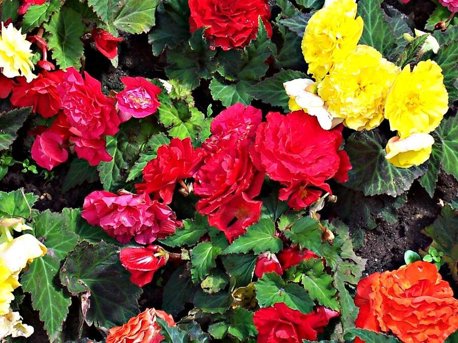 Begónie hlíznatá 'Mix' - Begonia tuberhybrida 'Mix'