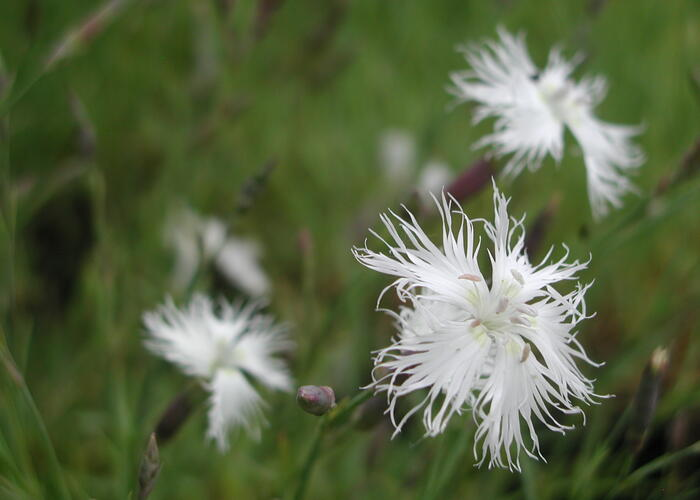 Hvozdík péřitý 'Albus Plenus' - Dianthus plumarius 'Albus Plenus'