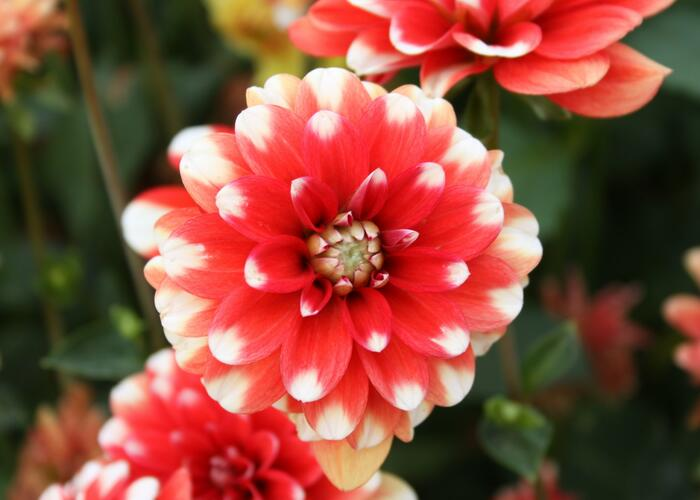 Jiřina 'Pompon Red White' - Dahlia 'Pompon Red White'