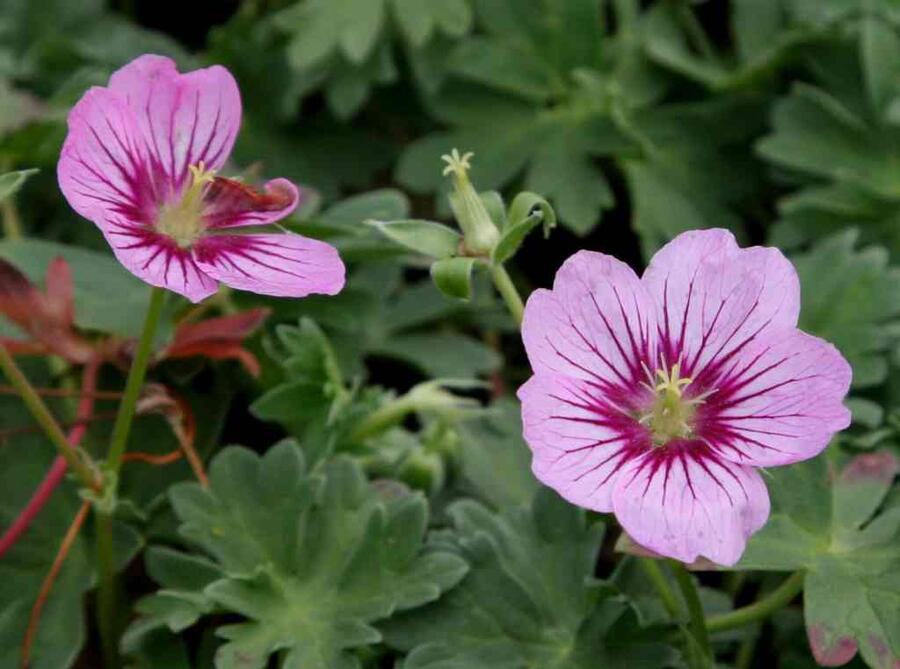 Kakost sivý 'Rothbury Gem' - Geranium cinereum 'Rothbury Gem'