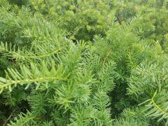 Tis prostřední 'Green Mountain' - Taxus media 'Green Mountain'
