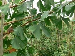 Jinan dvoulaločný 'Tremonia' - Ginkgo biloba 'Tremonia'
