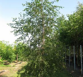 Bříza pýřitá - Betula pubescens