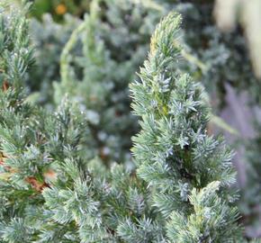 Jalovec šupinatý 'Meyeri' - Juniperus squamata 'Meyeri'