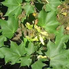 Javor kapadocký - Acer cappadocicum