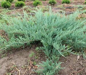 Jalovec polehlý 'Hughes' - Juniperus horizontalis 'Hughes'