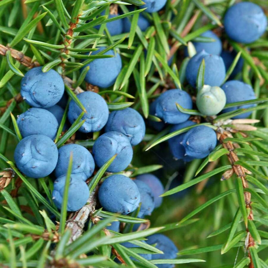 Jalovec obecný 'Sentinel' - Juniperus communis 'Sentinel'