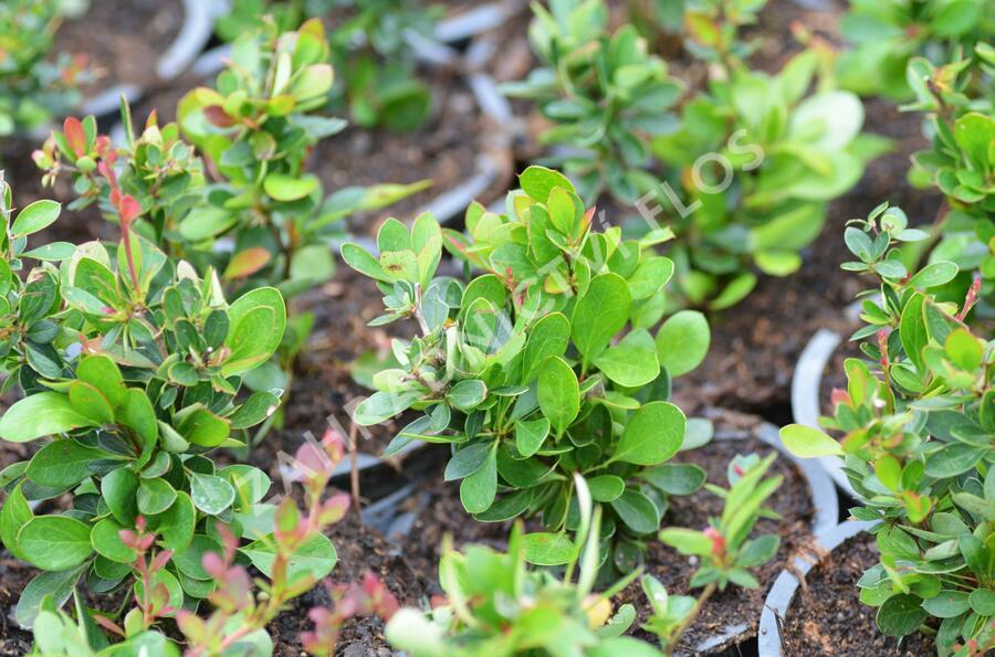 Dřišťál zimostrázový 'Nana' - Berberis buxifolia 'Nana'
