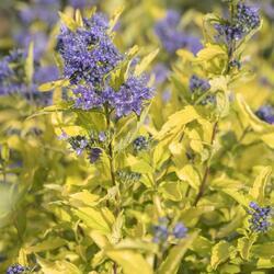 Ořechokřídlec šedivý 'Sunshine Blue' - Caryopteris incana 'Sunshine Blue'