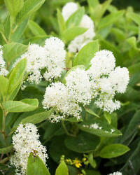 Latnatec 'Millerton Point' - Ceanothus thyrsiflorus 'Millerton Point'