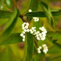 Krásnoplodka japonská 'Leucocarpa' - Callicarpa japonica 'Leucocarpa'
