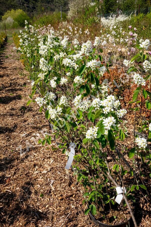 Muchovník vejčitý - Amelanchier rotundifolia