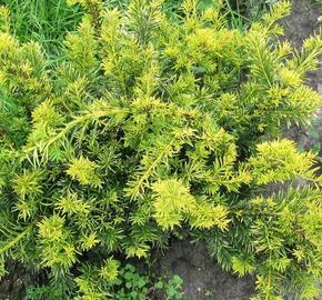 Tis červený 'Repandens Aurea' - Taxus baccata 'Repandens Aurea'