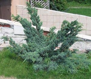 Jalovec šupinatý 'Meyeri Compacta' - Juniperus squamata 'Meyeri Compacta'