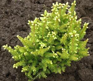 Smrk ztepilý 'Remontii' - Picea abies 'Remontii'