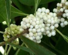 Krásnoplodka Bodinierova 'White Beauty' - Callicarpa bodinieri 'White Beauty'