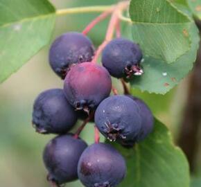 Muchovník olšolistý 'Smokey' - Amelanchier alnifolia 'Smokey'