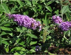 Motýlí keř, Komule Davidova 'Argus Velvet' - Buddleia davidii 'Argus Velvet'