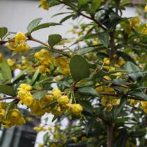 Dřišťál 'Chenaultii' - Berberis hybrido-gagnepainii 'Chenaultii'