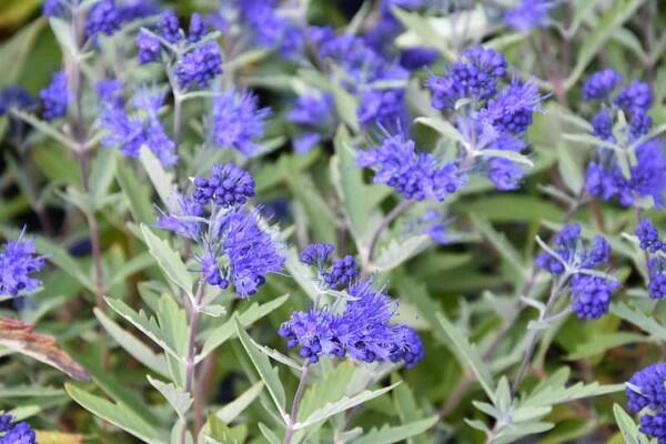Ořechokřídlec clandonský 'Kew Blue' - Caryopteris clandonensis 'Kew Blue'