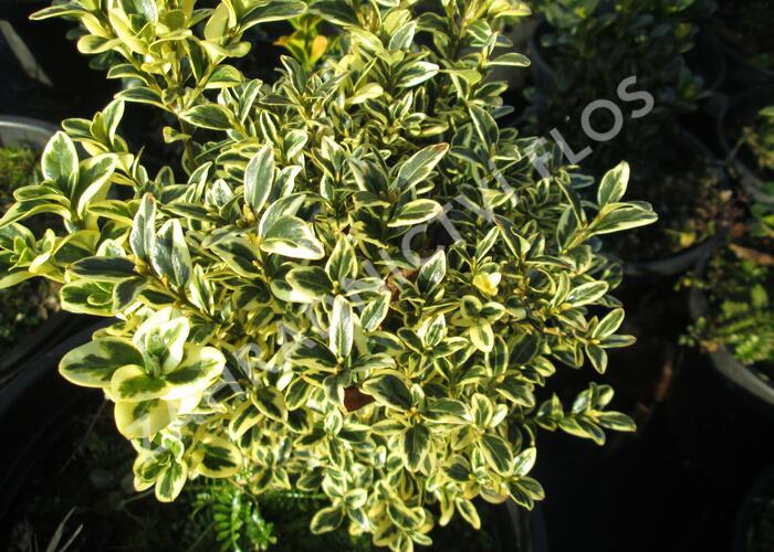 Zimostráz obecný 'Aureovariegata' - koule - Buxus sempervirens 'Aureovariegata' - koule