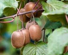 Aktinidie lahodná, kiwi - samosprašná 'Boskoop' - Actinidia deliciosa 'Boskoop'