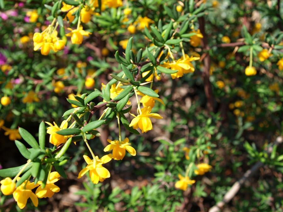 Dřišťál úzkolistý - Berberis stenophylla