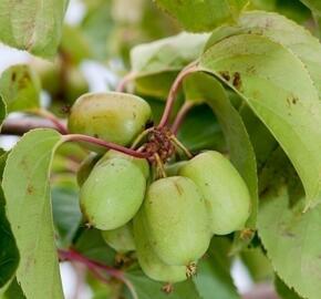 Aktinidie význačná, kiwi - samosprašná 'Kiwi Bes' - Actinidia arguta 'Kiwi Bes'