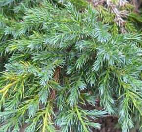 Jalovec šupinatý - Juniperus squamata