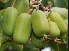Aktinidie význačná, kiwi - samičí 'Jumbo' - Actinidia arguta 'Jumbo'