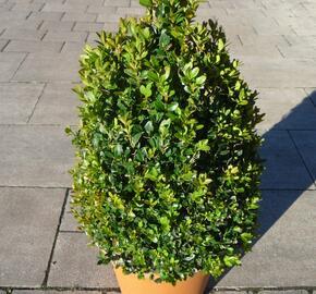 Zimostráz obecný 'Faulkner' - kužel - Buxus microphylla 'Faulkner' - kužel