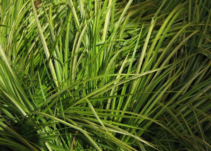 Puškvorec trávolistý 'Ogon' - Acorus gramineus 'Ogon'