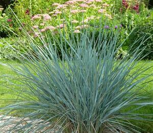 Žitňák - Agropyron magellanicum