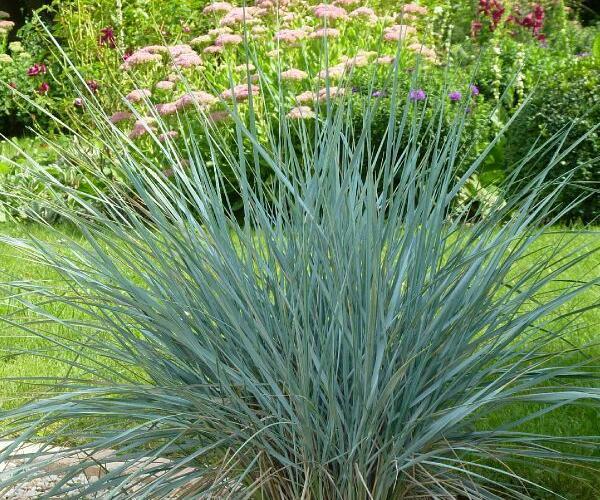 Ječmenice - Agropyron magellanicum