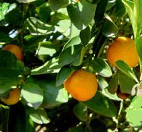Citroník ušlechtilý (mandarinka) - Citrus nobilis