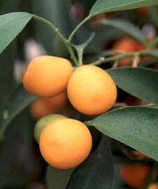 Kumkvat oválný - Citrus japonica (Fortunella margarita)