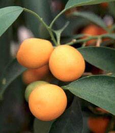 Citroník japonský 'Kumquat' - Citrus japonica 'Kumquat'