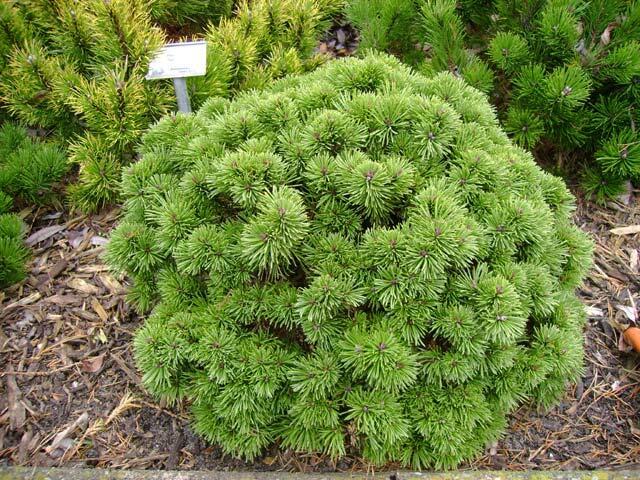 Borovice kleč 'Green Shadow' - Pinus mugo 'Green Shadow'