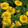 Záplevák 'Buttercup' - Helenium 'Buttercup'
