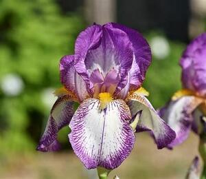 Kosatec německý 'Frühlingskleid' - Iris barbata-elatior 'Frühlingskleid'
