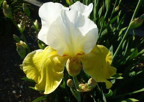Kosatec německý 'Alpine Sunshine' - Iris barbata-elatior 'Alpine Sunshine'